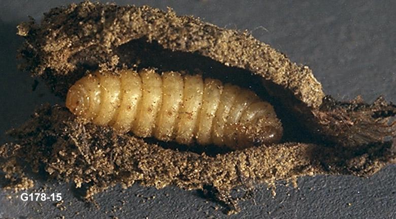 Mint Root Borer Prepupa in Hybernaculum, Fumibotys fumalis ...